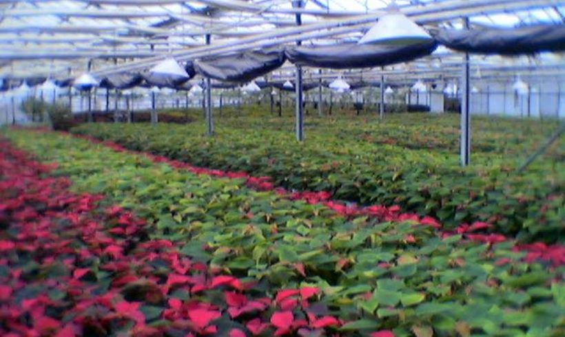 poinseties-4