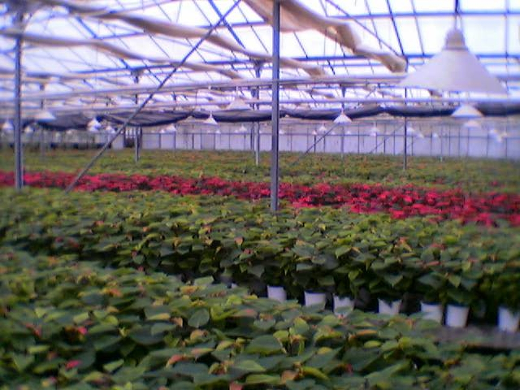 poinseties-5