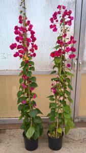 2 color bugainvileas