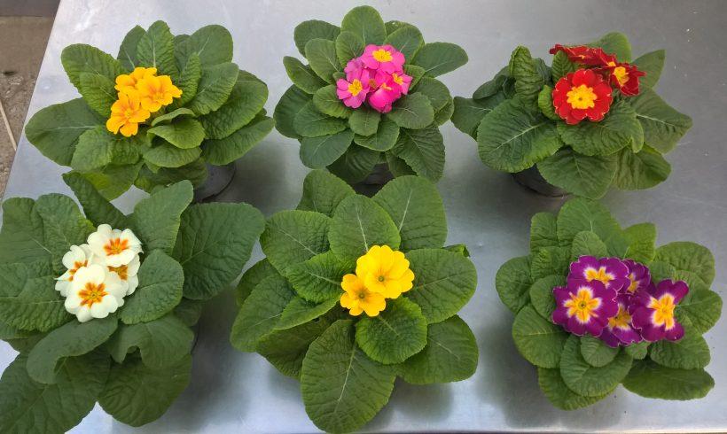 Primula σε 12 εκ γλαστράκι σε διάφορα χρώματα!