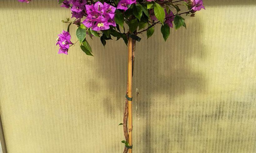 Μπούκαμβιλια Δέντρο