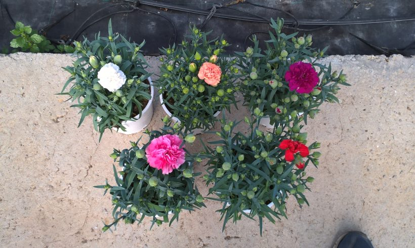 Carnation Lillypot